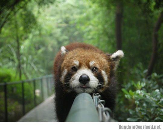 sitting red pandas - Google-søk