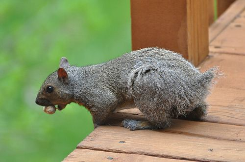 Stumpy the tailless squirrel