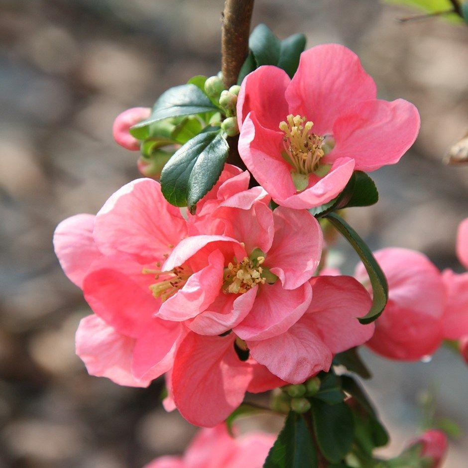 Chaenomeles Superba Pink Lady Fleurs Pinterest Chaenomeles
