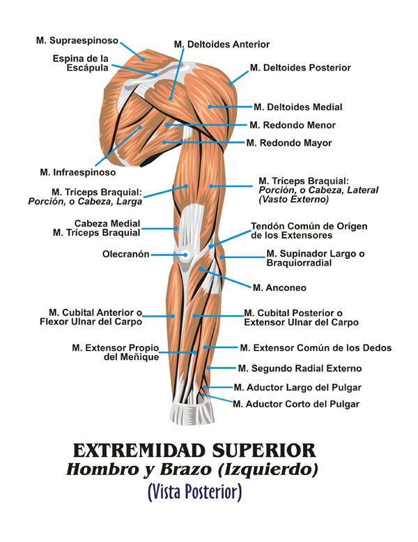 Músculos brazo detras | Anatomía | Pinterest | Músculos, Brazos y ...