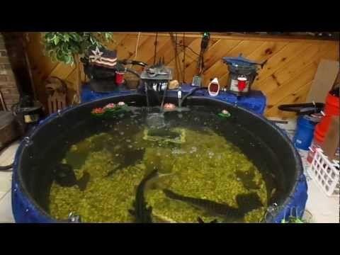 300 Gallon Iridescent Shark Pond 125 Cichilid Tank 250 Parrot Tank Youtube Freshwater Fish Pond Gallon