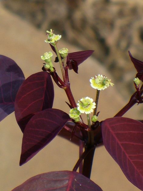 Euphorbia cotinifolia red spurge dark reddish purple leaves with euphorbia cotinifolia red spurge dark reddish purple leaves with small white flowers mightylinksfo Images