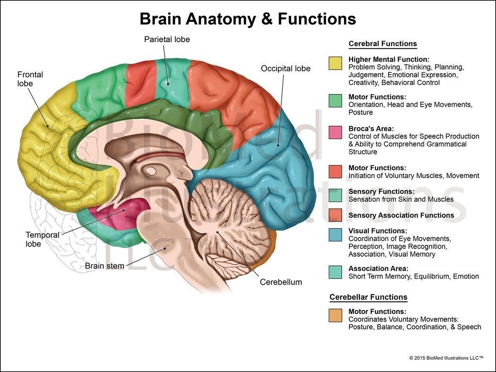 The Human Brain Diagram And Functions The Human Brain