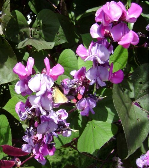 Hyacinth bean vine guide httptropical plants and flowers hyacinth bean vine guide httptropical plants and hyacinth bean vinefast growing mightylinksfo