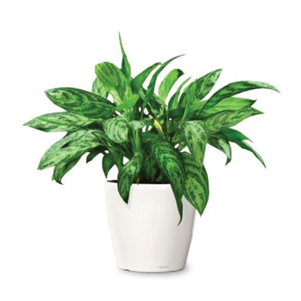 Chinese Evergreen Can Help Filter Out A Variety Of Air Pollutants And Begins To Remove More Toxins Chinese Evergreen Plant Ornamental Plants Evergreen Plants