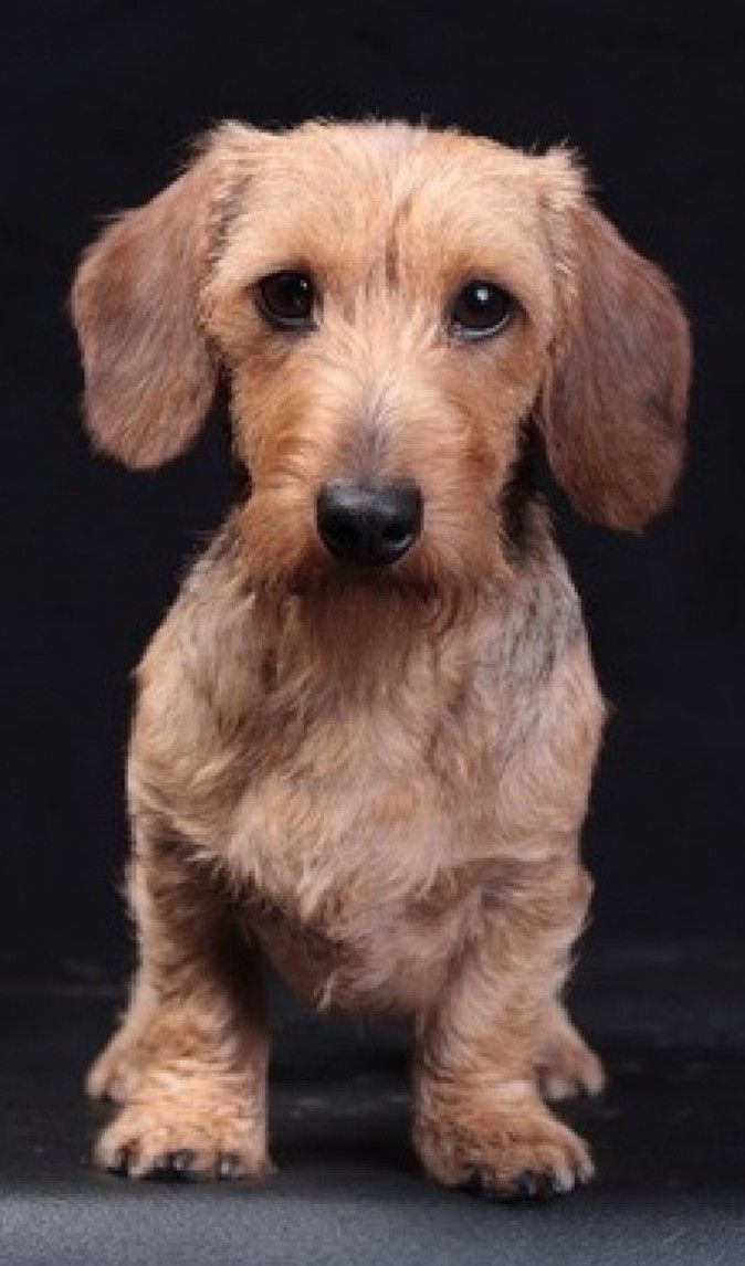 Dachshund Wire Haired Dachshund Wire Haired Nancy Hollen