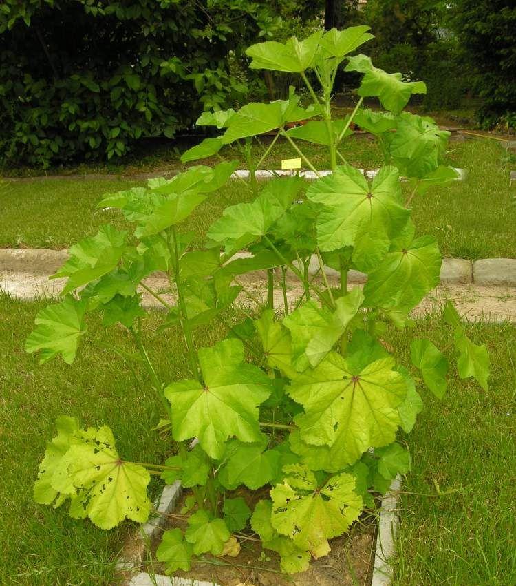 Cluster Mallow Seeds 20 Seeds Malva Verlillala L Vegetable Garden Seeds Hot C082