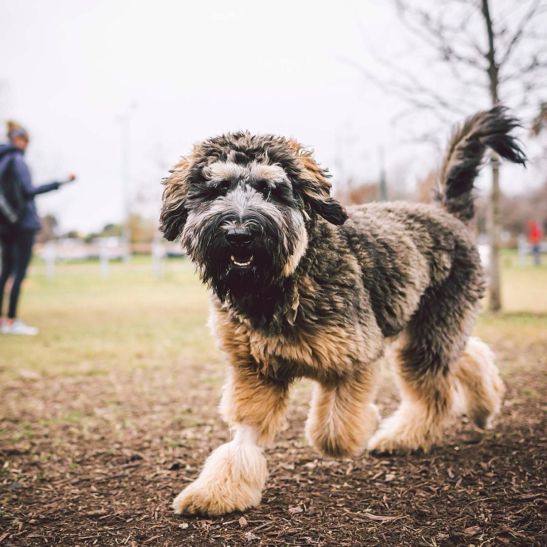 Barneby The 7mo Old Bernese Mt Dog Bouvier Des Flandres Mix By
