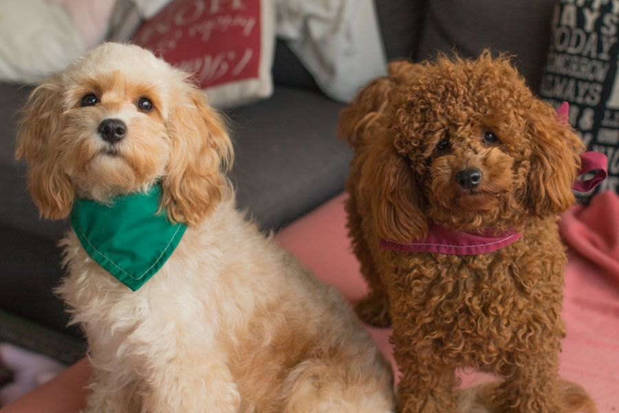 Cavoodles And Poodles Are Very Similar In Temperament From My Experience The Cavoodle Is More Laid Back Than The Poodle As Is Poodle Yorkie Poodle Poodle Mix