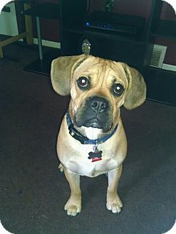 Pin By Barry Stritton On Mixes Pets Pug Mix English Bulldogs