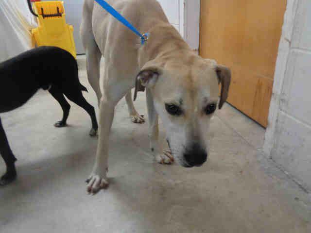 1 24 17 Meet Bullwinkle An Adoptable Labrador Retriever