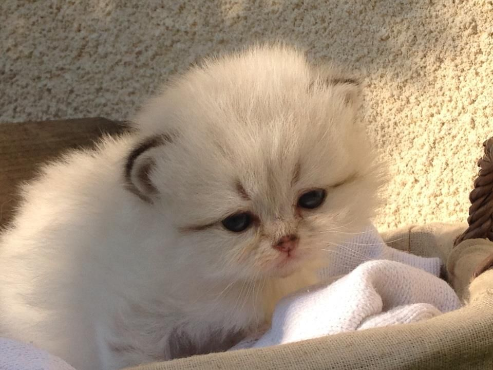 Ivana - Femelle - British longhair seal golden tabby point - #cat #chat #animal #babycat #kitten #bordeaux #britishlonghair #colorpoint #arthoria