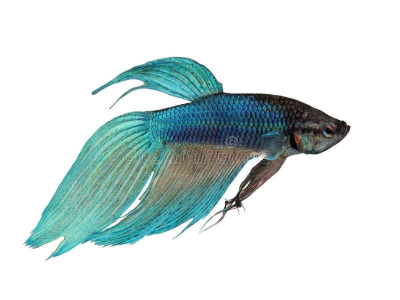 Blue Siamese Fighting Fish Betta Splendens In Front Of A White Background Sponsored Fighting Fish Blue Siame Siamese Fighting Fish Betta Betta Fish