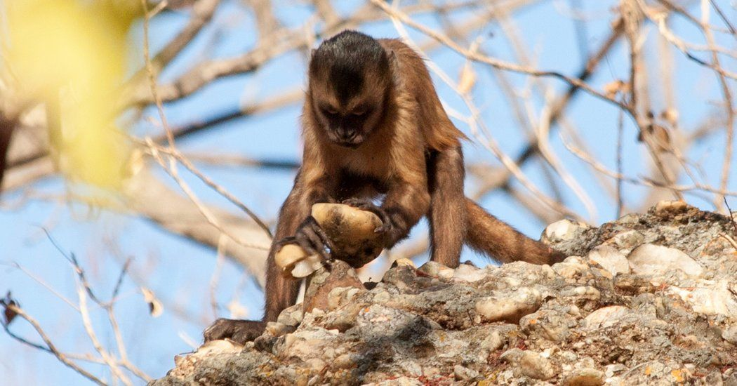 Monkeys Can Make Stone Tools But They Don T Use Them Animal Stories Animals Monkey