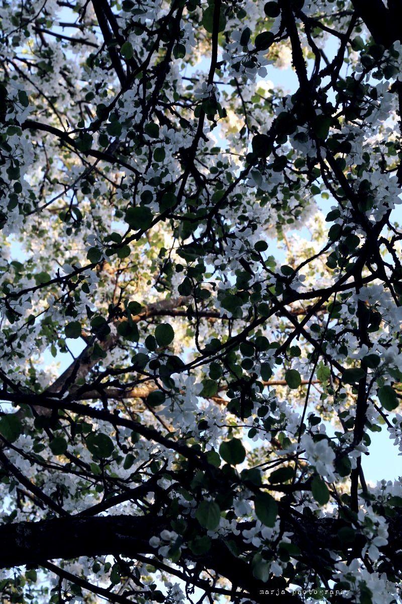 apple blossom6