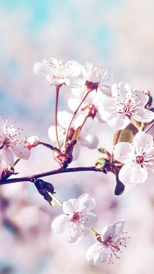 Sakura Iphone Wallpaper Floral Wallpaper Cute Wallpapers
