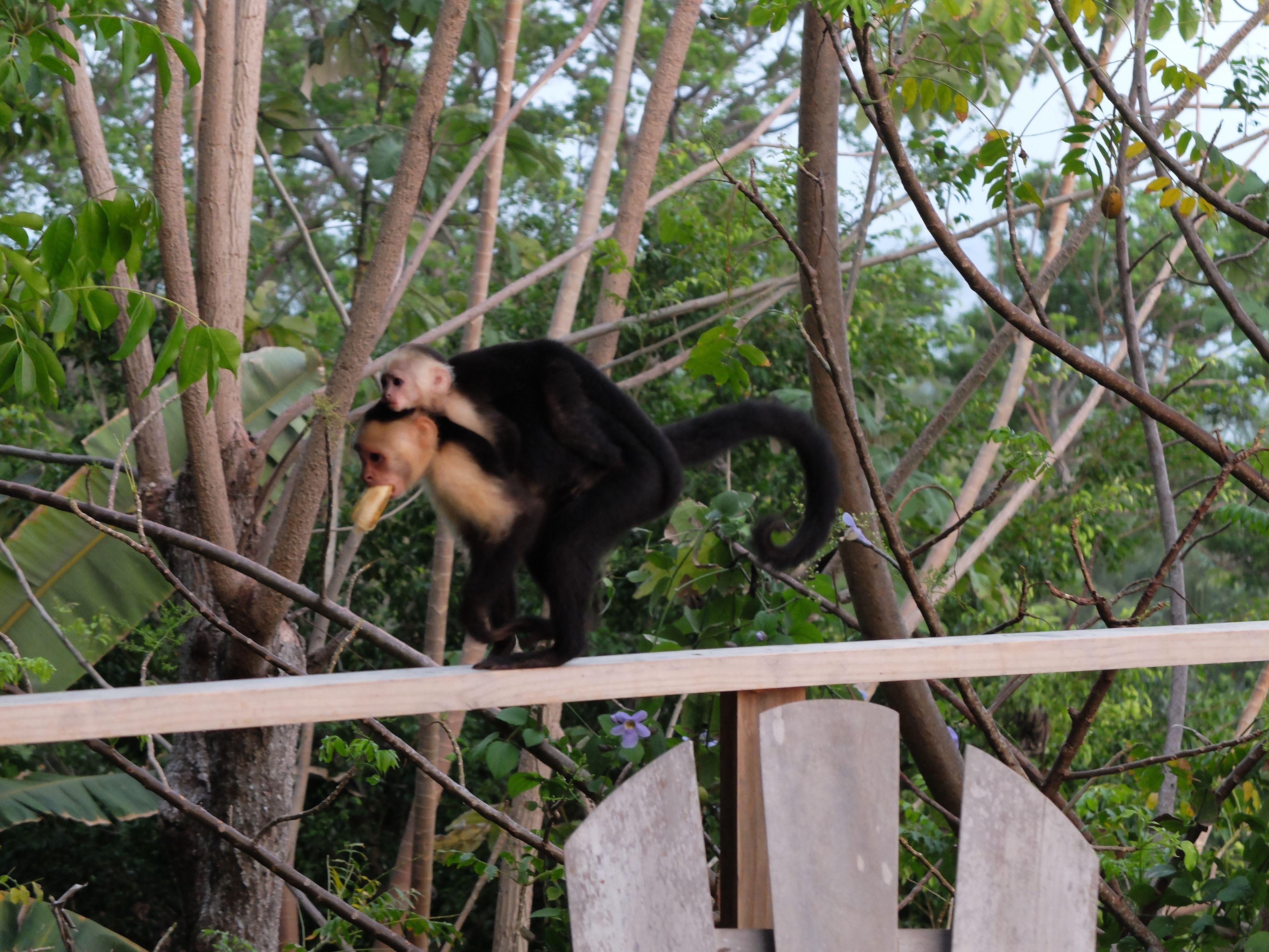 Capuchin Monkeys At Lookout Inn Carate Beach Hotel Osa Peninsula Corcovado National