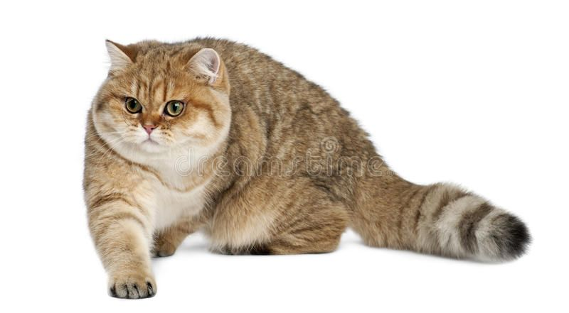 Photo About Golden Shaded British Shorthair 7 Months Old Walking Against White Background Image Of Shot Golden Full 26643458