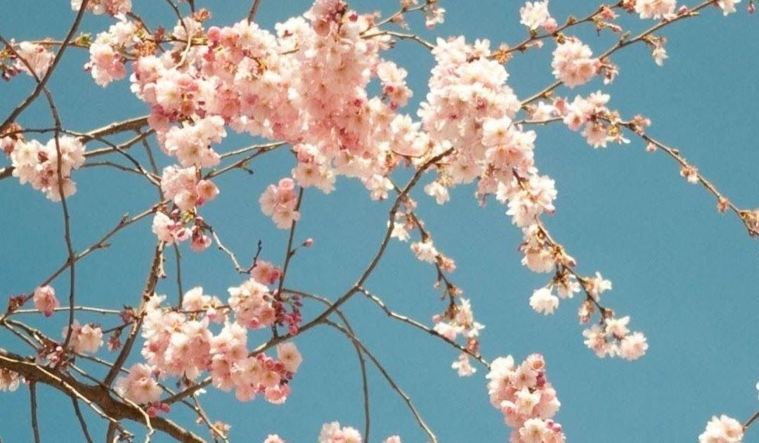 Japanese Cherry Blossom Are My Favorite Type Of Flower Create Your Own Tumblr Blo Cherry Blossom Wallpaper Iphone Anime Cherry Blossom Anime Scenery Wallpaper