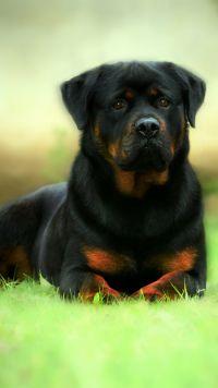Animal Apple Iphone 5 640x1136 1271 Wallpapers Rottweiler Rottweiler Dog Animals