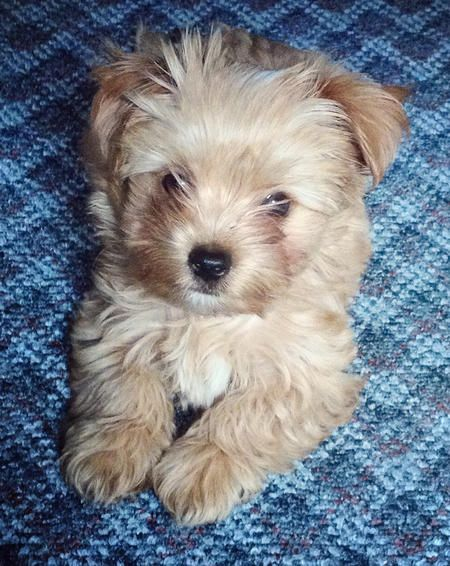 Tucker the Yorkie Mix Puppy Breed Maltese / Yorkshire