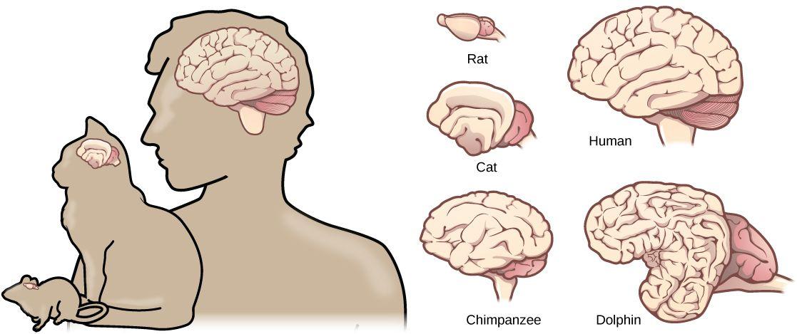 dolphin brain - Поиск в Google | Genetics | Pinterest | Cat brain