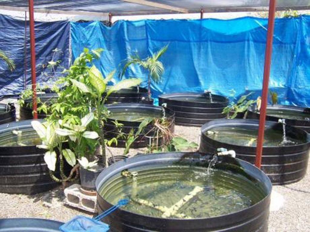 image of: tambuka backyard fish farming | aquaculture | pinterest