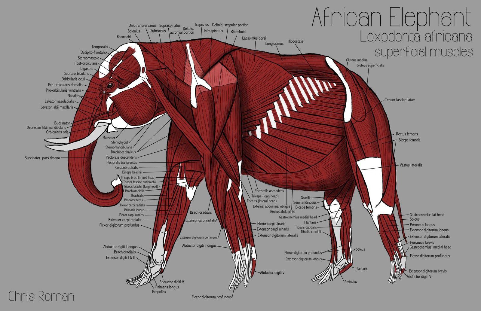Chris Roman: Elephant Anatomy Study   Learn   Drawing - Illustration ...