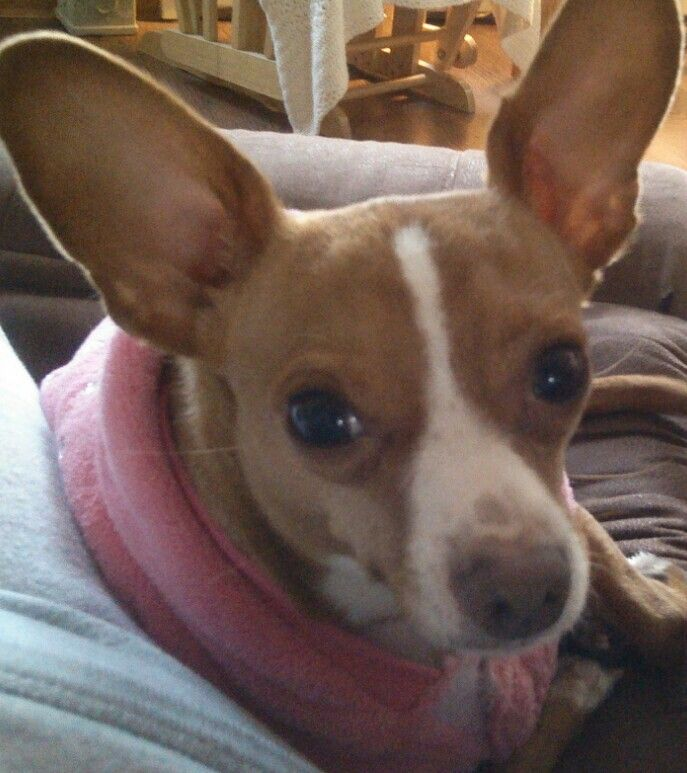 Miss Lola She S A Chiweenie Chihuahua And Dachshund Mix Cute