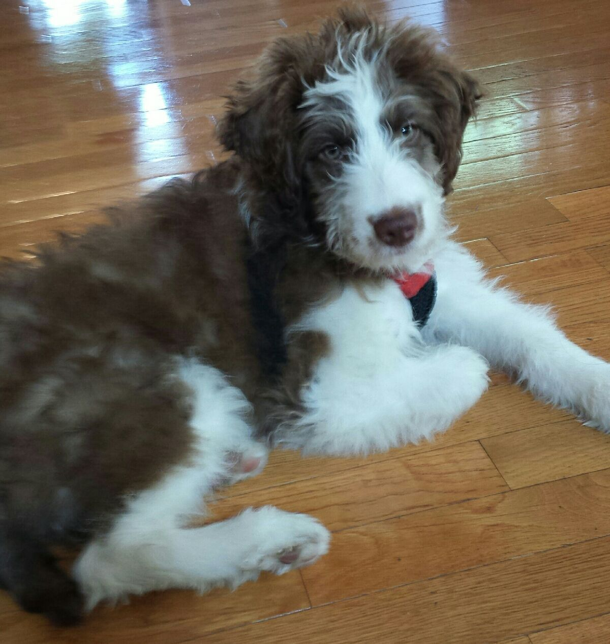 Best Dog Ever Aussiedoodle Little To No Shedding And No