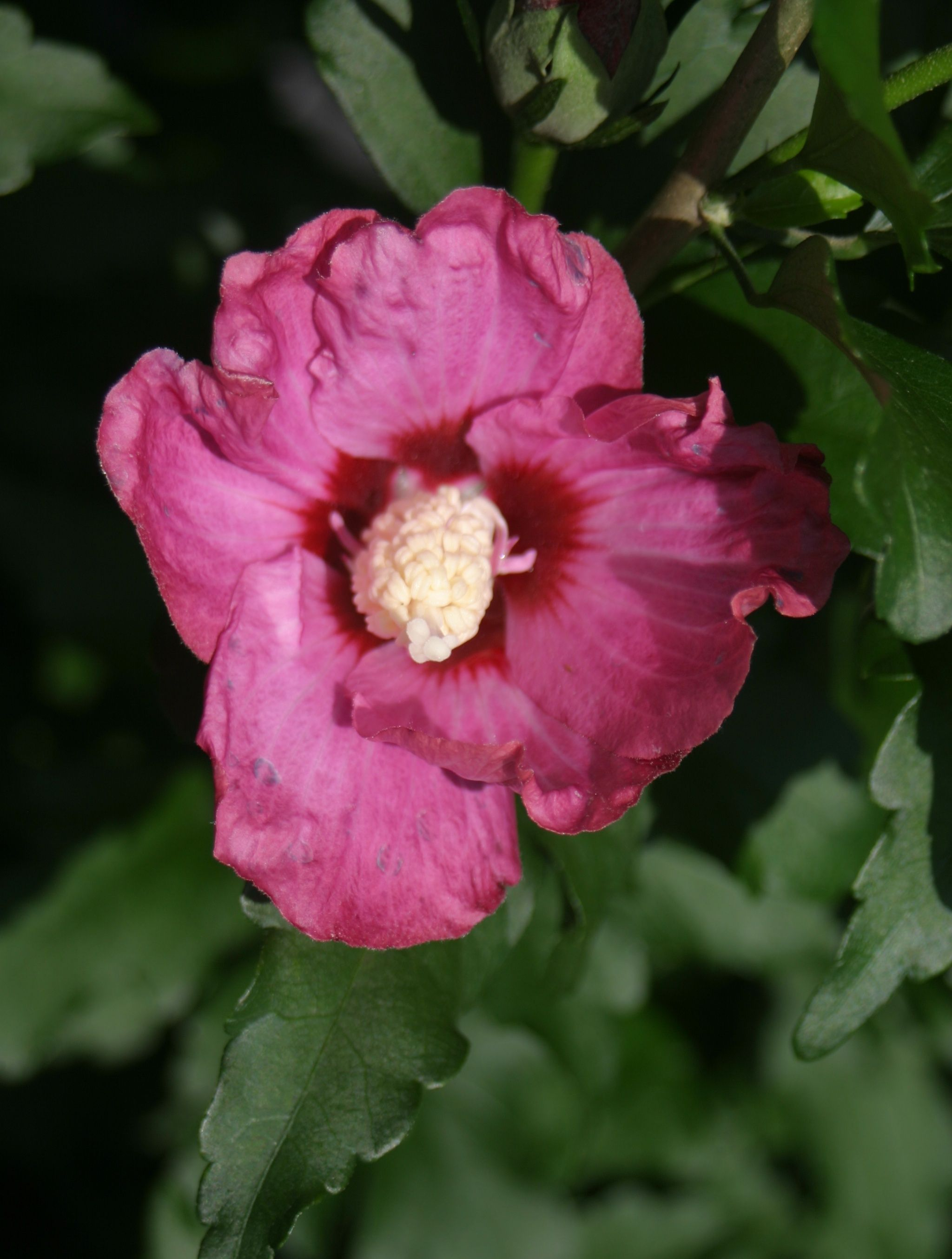Lil kim red rose of sharon hibiscus syriacus perennials lil kim red stands 3 4 feet in height once mature and features izmirmasajfo Choice Image