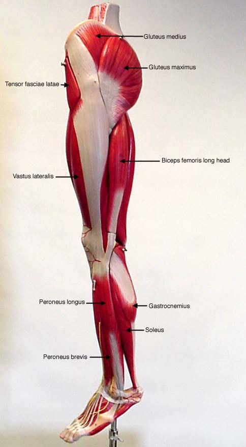 labeled lateral view of leg - muscles | Anatomy slides | Pinterest ...