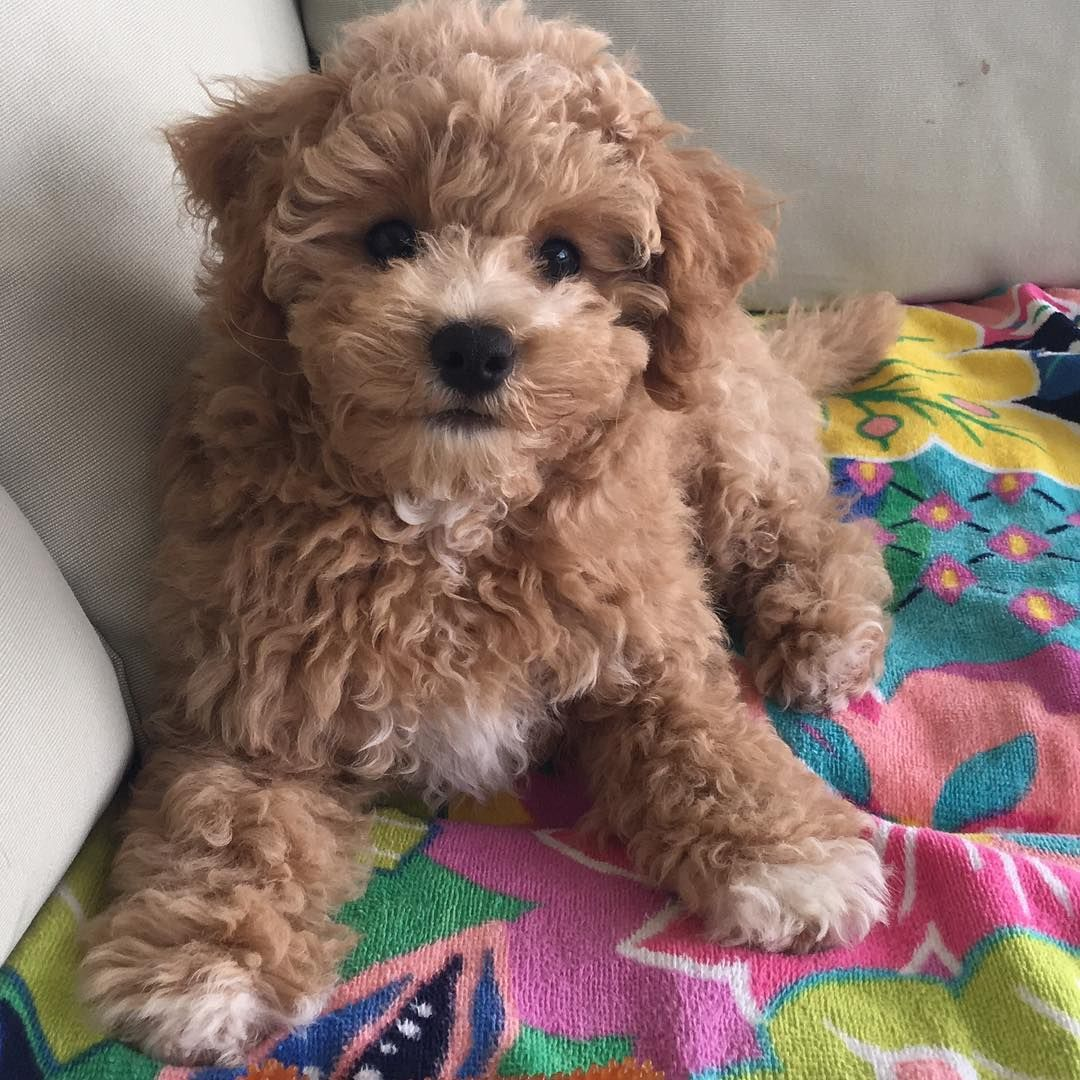 Cute Me Poochon Puppy Puppiesofinstagram Cute Bichonpoo Dog