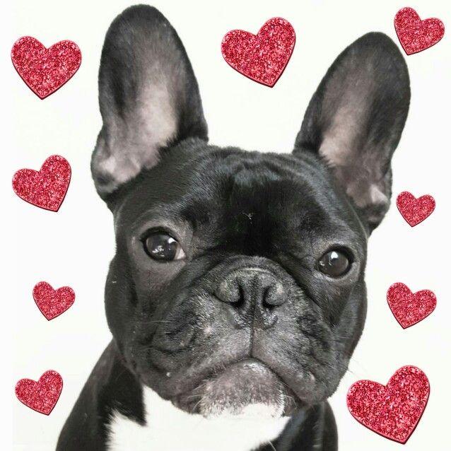 Valentine's Day, frenchie, French Bulldog Puopy❤️❤️