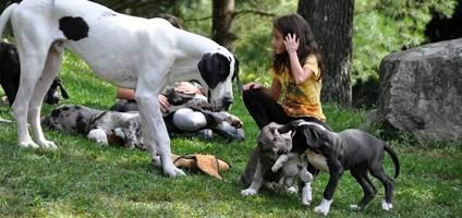 Great Dane Puppy Cam Watch Future Service Dogs Grow Up Dogster