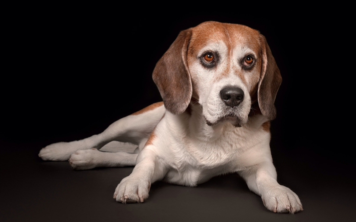 Download wallpapers beagle, small puppy, cute animals