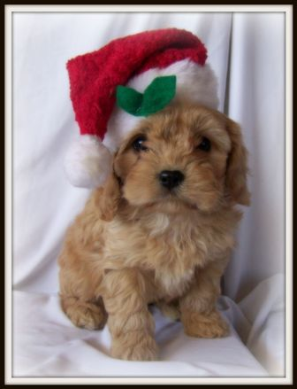 Cockapoo All I Want For Christmas Is You Cavapoo Puppies