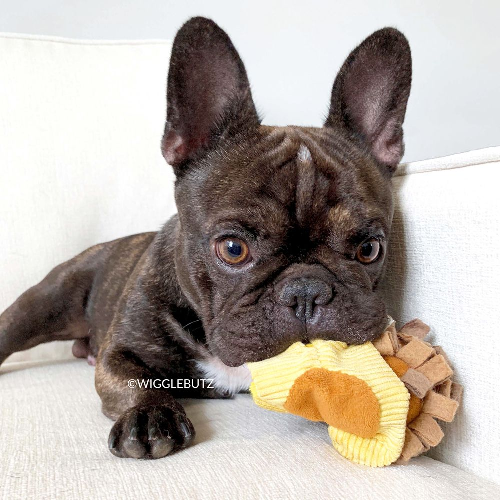 Wigglebutz French Bulldog Puppies For Sale Frenchie Breeder