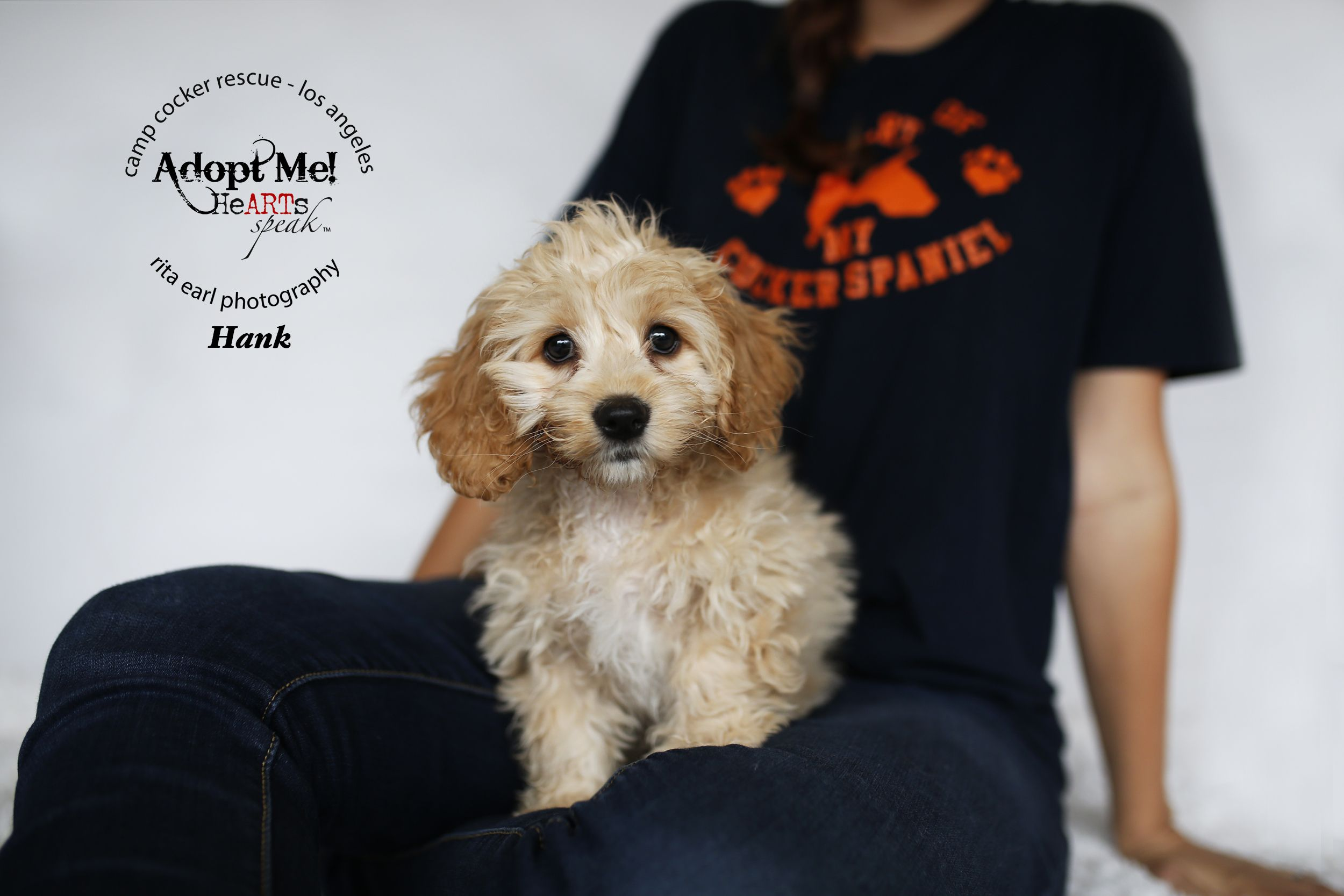 Cockapoo Dog For Adoption In Sherman Oaks Ca Adn 433700 On Puppyfinder Com Gender Male Age Baby Cockapoo Dog Cockapoo Dogs