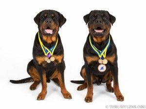 In Ohio Rottweiler Puppies For Sale Rottweiler Puppies Puppies