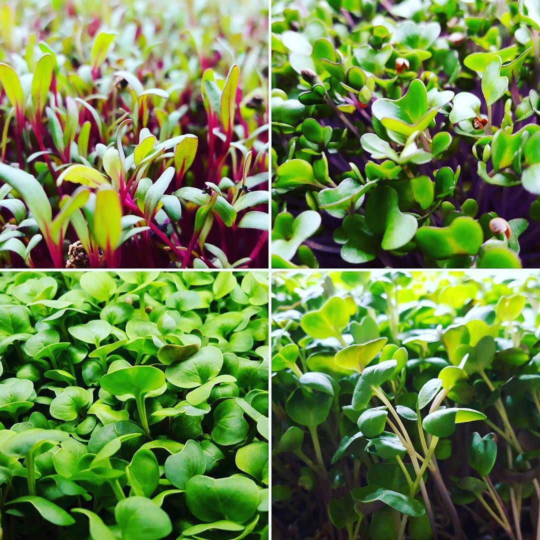 Inostri#microortaggi#microgreens#microradish@microcabbbage@microbeet by piantanatura
