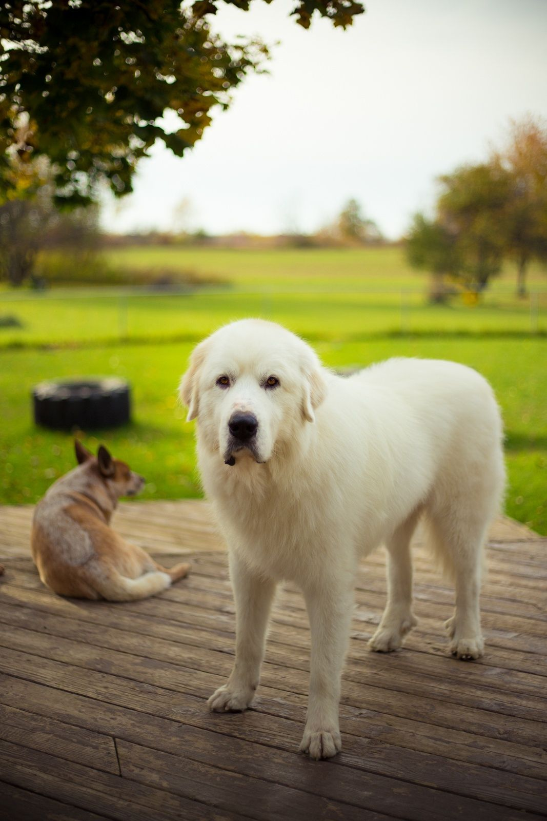 Small Crop Of Big White Dog Breeds