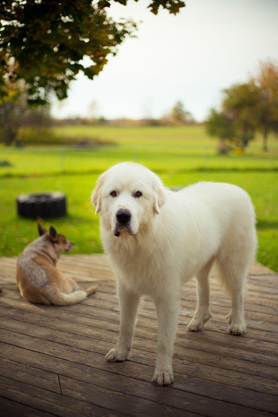 Elegant Pyrenees Pyrenees Wanwanwo Pinterest Dog Dog Huge Dog Breeds Big Snow Dog Breeds bark post Big White Dog Breeds