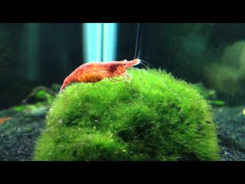 how to take care of red cherry shrimp