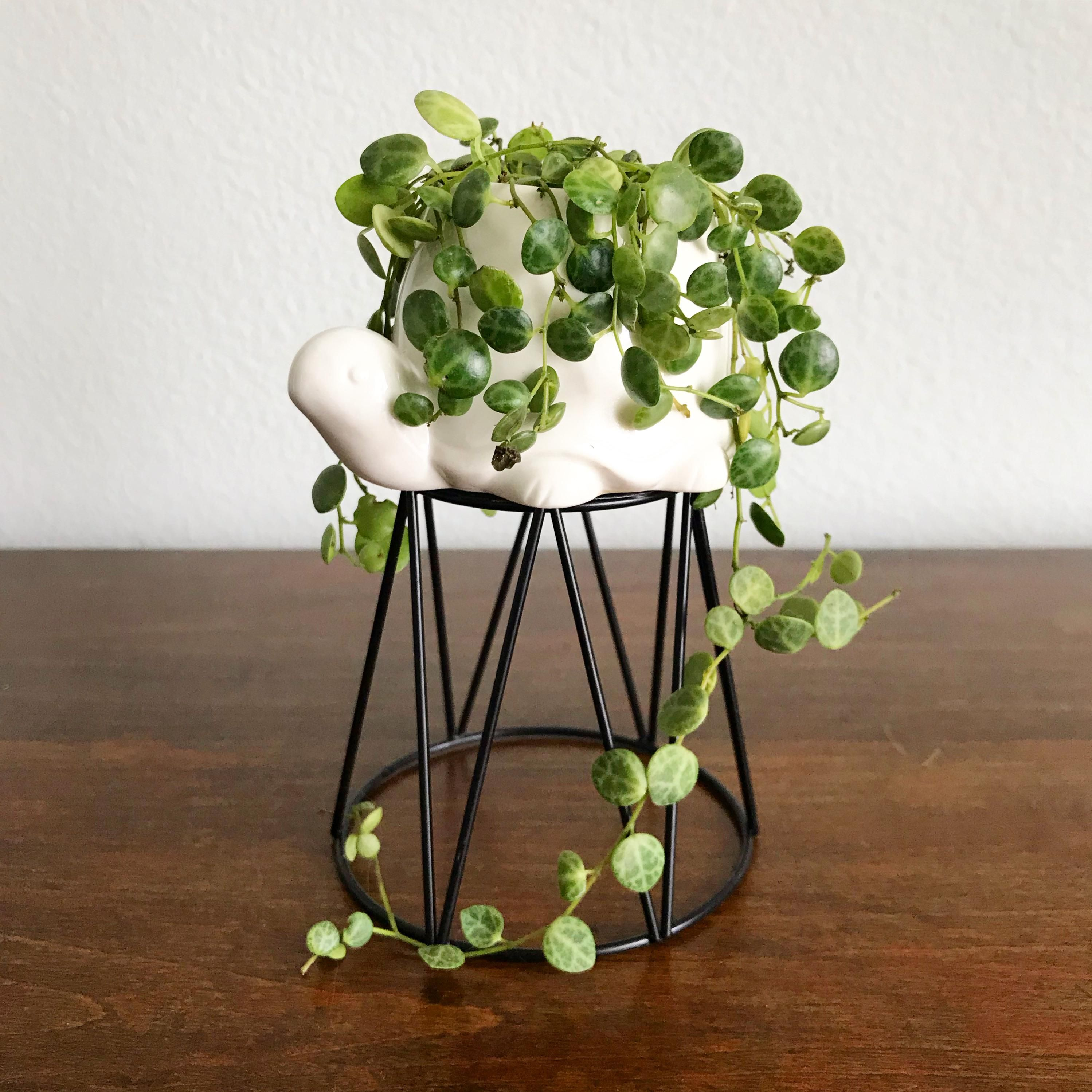 how to care for a turtle vine