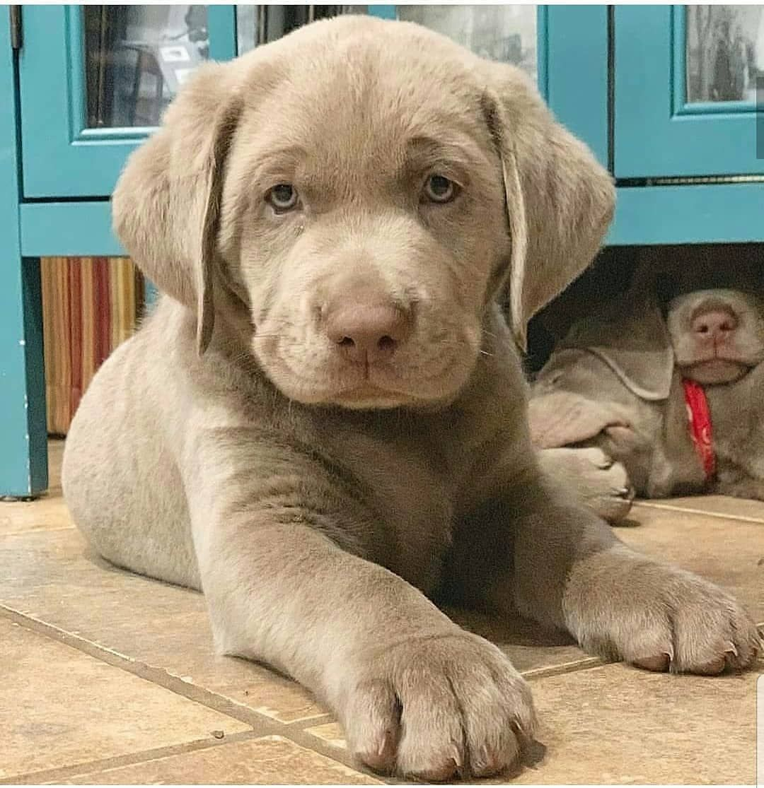 Heyyy Hello There How You Doing Credit By Yeti Thesilverlab Follow Labradorsofig For More Cute Dog Pictures Silver Labrador Puppies Cute Baby Animals