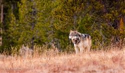 Canyon Grey Wolf by Wil Harmsen One of my favorites, he is one beautiful wolf!