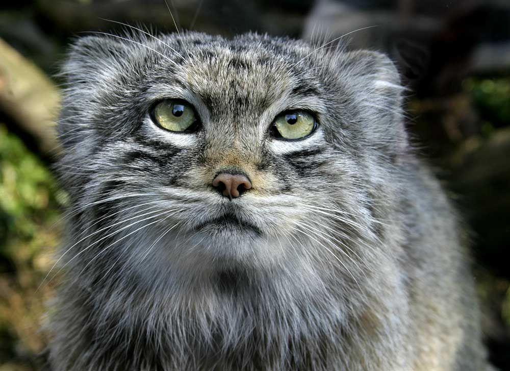 Pallas cat also called the manul, is a small wild cat having a broad but patchy distribution in the grasslands and montane steppe of Central Asia.  - Pixalo Photo Gallery