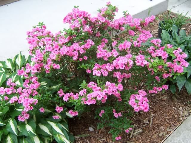 Gorgeous Blooming Azalea Mini Flowers Rosebud Plants Azaleas Lawn And Garden