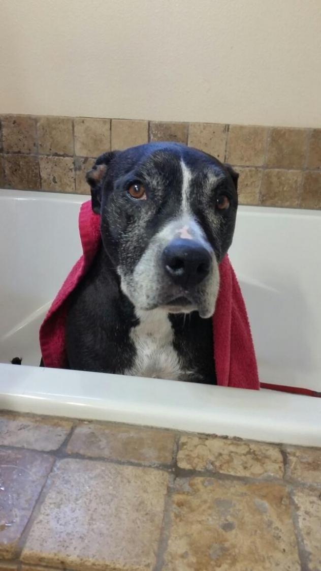 Adopt Trixie On Pitbull Terrier Dog Training Courses Trixie